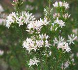 Calytrix sullivanii