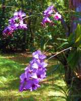 Vappodes phalaenopsis