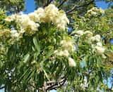 Corymbia intermedia