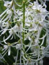 Dockrillia wassellii
