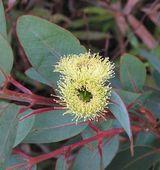 Eucalyptus preissiana var lobata