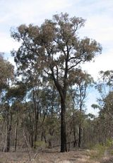 Eucalyptus tricarpa