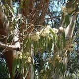 Eucalyptus acaciiformis