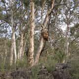 Eucalyptus accedens