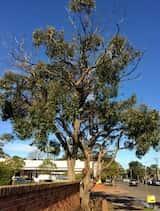 Eucalyptus baxteri