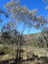 Eucalyptus dealbata
