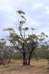 Eucalyptus dumosa