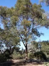 Eucalyptus eugenioides