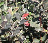 Gastrolobium praemorsum 'Bronze Butterfly'