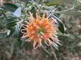 Grevillea olivacea 'Apricot Glow'