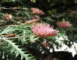 Grevillea 'Poorinda Anticipation'