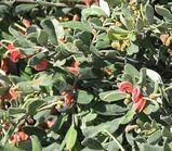 Grevillea arenaria