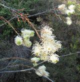 Grevillea leucopteris