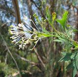 Grevillea manglesii ssp dissectifolia