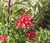 Grevillea obtusifolia 'Gingin Gem'