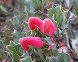 Grevillea pilosa subsp Redacta