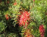 Grevillea thelemanniana