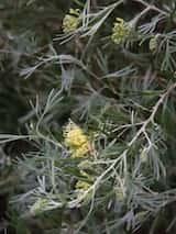 Grevillea 'Lemon Supreme'