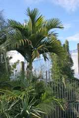 Hedyscepe canterburyana