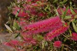 Callistemon 'Taree Pink'