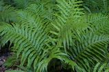 Blechnum cartilagineum