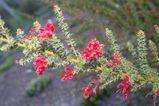 Grevillea astericosa