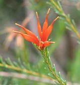 Lambertia ericifolia