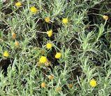 Leiocarpa panaetioides