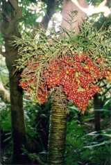 Lepidorrhachis mooreana