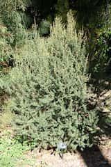 Leptospermum grandiflorum