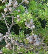 Leptospermum obovatum