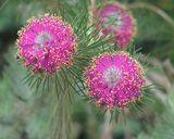 Melaleuca trichophylla