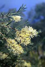 Melaleuca leiocarpa