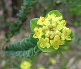 Pimelea flava ssp Flava