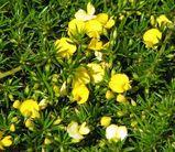 Pultenaea pedunculata