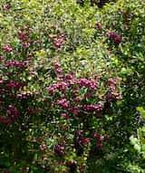 Syzygium smithii
