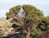 Tecticornia arbuscula