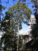 Corymbia torelliana