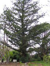 Araucaria cunninghamia