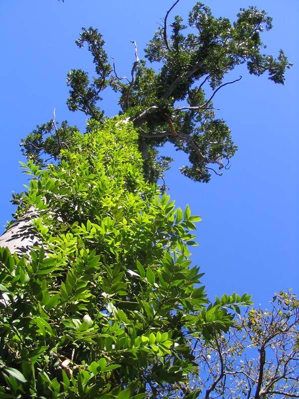 Agathis robusta photo