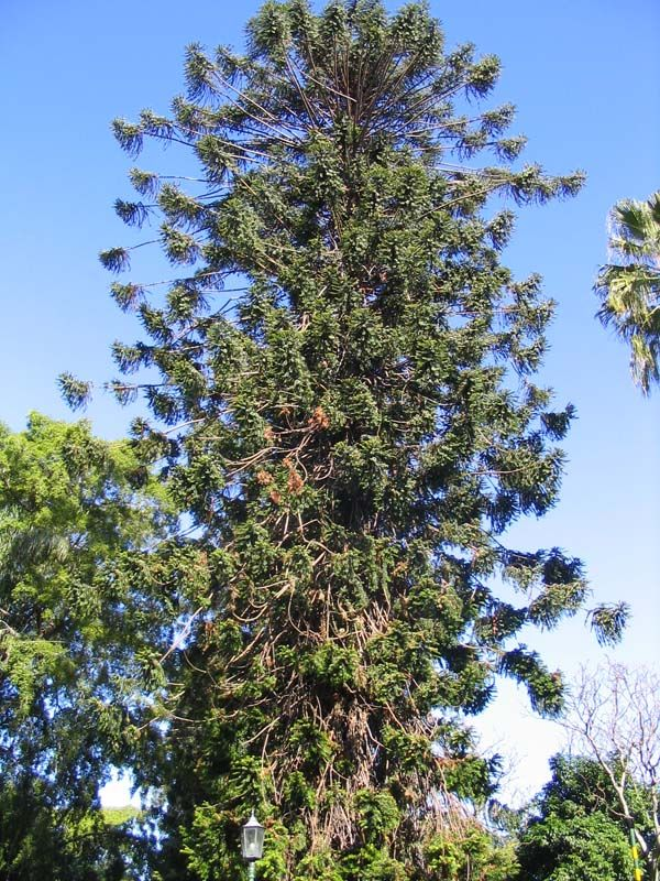 Araucaria bidwillii photo