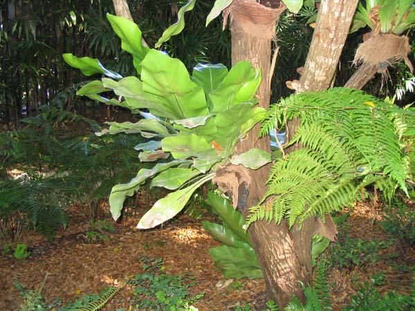 Asplenium australasicum photo