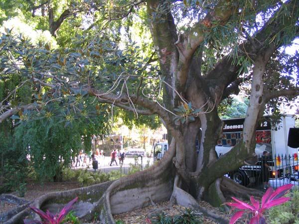 Ficus macrophylla photo