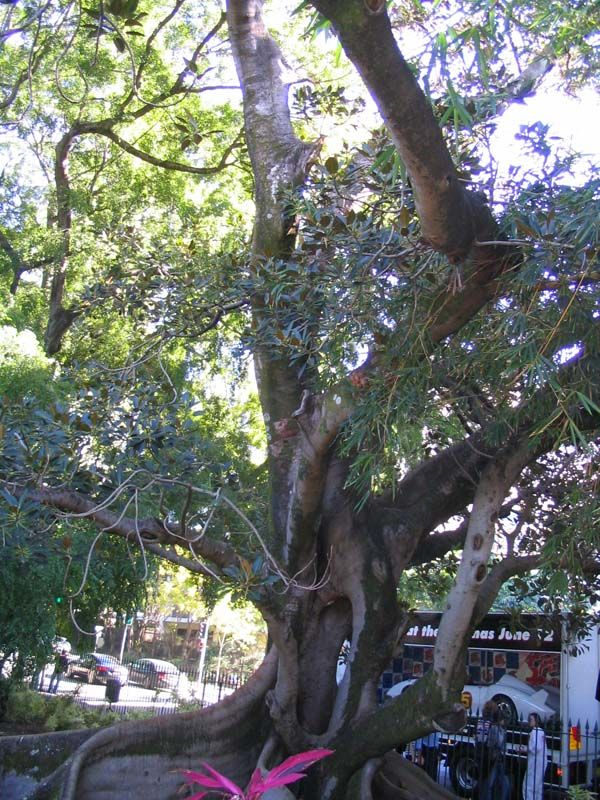 Ficus macrophylla photo