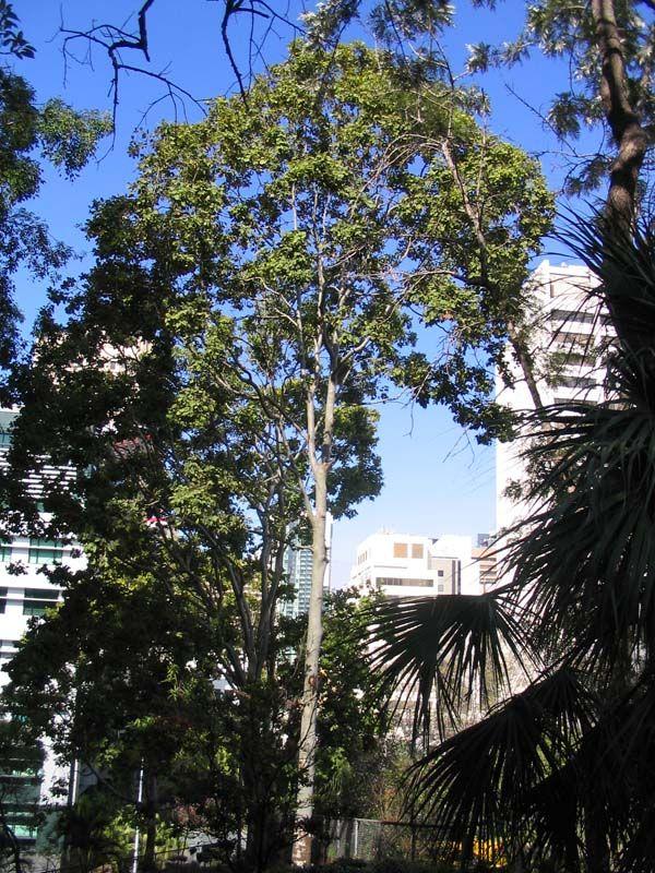 Corymbia torelliana photo