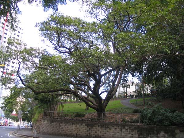 Ficus virens photo
