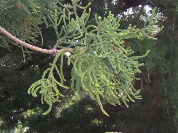 Araucaria cunninghamia photo