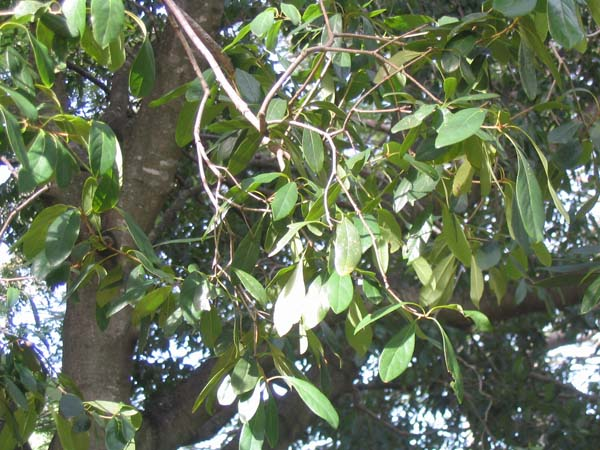 Pittosporum ferrugineum photo