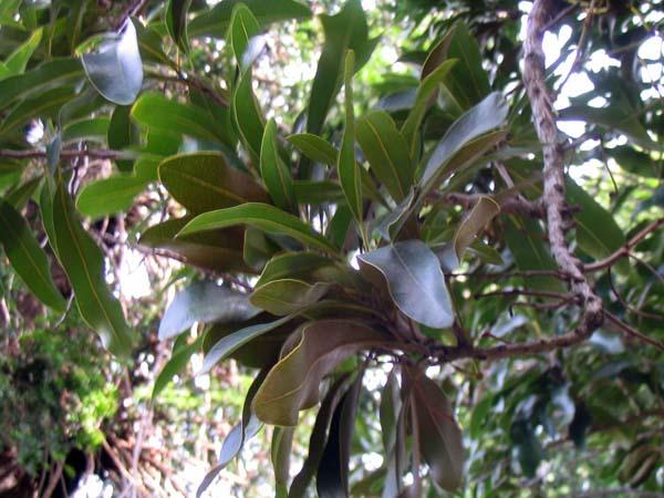 Stenocarpus sinuatus photo